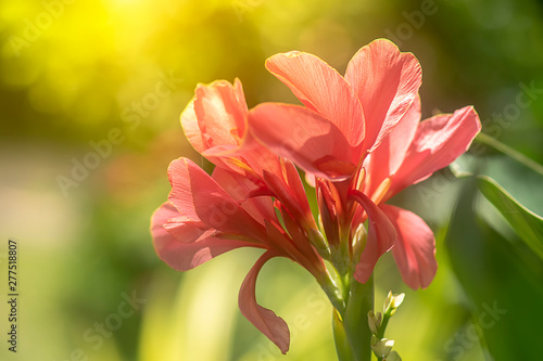 Photo Pink Indian shot flower.