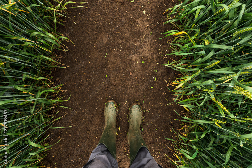 Fototapeta Farmer in rubber boots walking through muddy wheat field