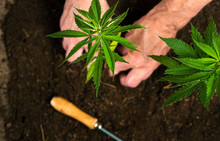 Person Planting Industrial Hem...
