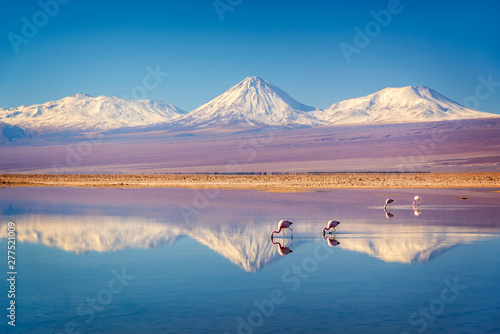 Photo Stands Flamingo Snowy Licancabur volcano in Andes montains reflecting in the wate of Laguna Chaxa with Andean flamingos, Atacama salar, Chile