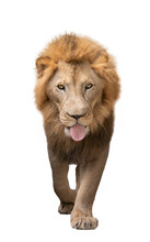 Male Lion Walking Isolated On ...