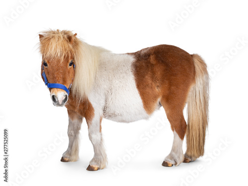Photo Brown with white piebald Shetland pony, standing side ways