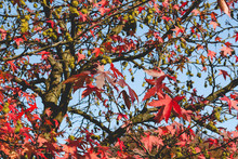 Liquidambar Or American Sweetgum Tree With Autumnal Red Foliage And Spinny Seed Pod Balls