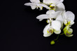 white orchid phalaenopsis on a dark background, place for your text