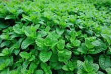 Dense Mint Plant Growing At Vegetable Garden