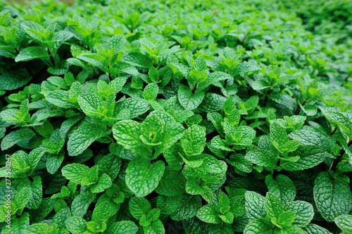Obraz Dense mint plant growing at vegetable garden - fototapety do salonu