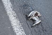 Gull Seagull By Car On Asphalt Road.