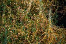 Parasitic Plant Dodder (Genus ...