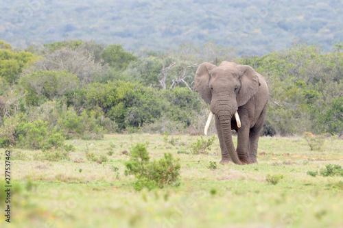 African Elephant (Loxodonta africana) bull walking on savanna, Addo National Park, Eastern Cape Province, South Africa