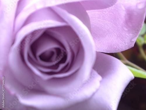 Fototapeta purple rose obraz na płótnie