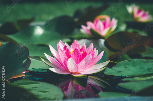 Door stickers Water lilies beautiful pink lotus flower in pond. aquatic water lily fresh nature flower blooming background outdoors in garden top view with sunlight.