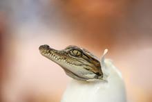 Little Baby Crocodile Is Hatch...