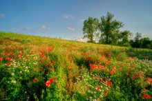 Poppies In Grain, Agriculture, Poland Around The City Of Sztum