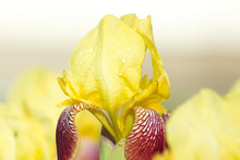 Natural Floral Background With Yellow-red Bearded Iris With Raindrops In A Sunny Garden