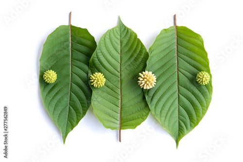 Leaves, flowers, fruits and liquid of Kratom or mitragynine on white background Canvas Print