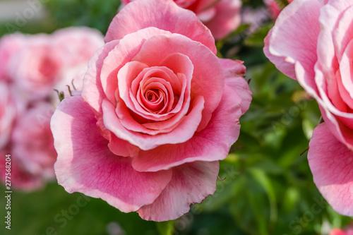 Pink Rose Detail 5