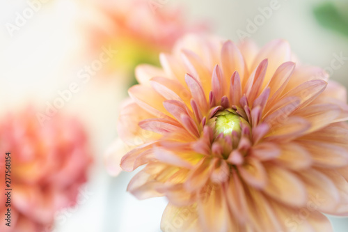 Poster de jardin Dahlia Close up of beautiful orange pink yellow Dahlia flower with copy space for text using as background natural plants landscape, ecology wallpaper concept.