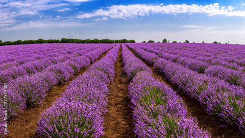 Canvas Prints Culture Beautiful lavender fields on a sunny day. lavender blooming scented flowers. Field against the sky. Moldova.
