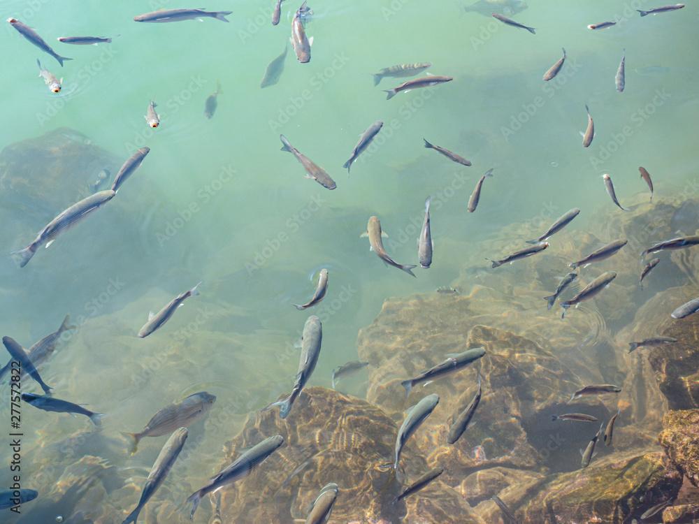 Fototapeta Fish shoal in clear turquoise water