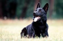 Black German Dog Lying On The Grass