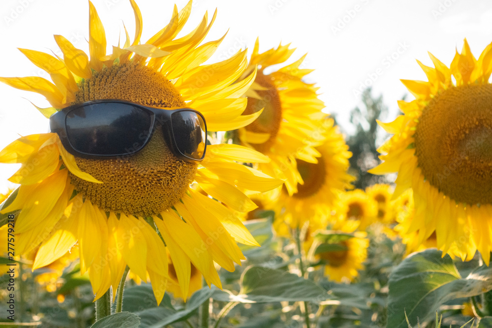 Fototapety, obrazy: Sunflower Wear A Sunglasses on Blue Sky background field