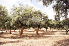 Cork Oaks In The Sierra De Huelva With The Characteristic Orange Color They Present In The Trunk After The Extraction Of The Cork At The Beginning Of Summer