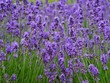 canvas print picture - field of lavender flowers
