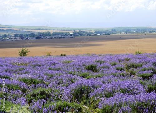 Fototapeta Beautiful flowering field of lavender in the Crimea. Summer sunny day, blue sky with clouds. obraz na płótnie