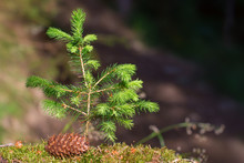 Young Christmas Tree In The Forest. Next To Her On A Green Moss Is A Lump. Background With Soft Focus.
