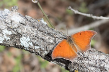 Goatweed Leafwing Butterfly Warming Its Wings While Sitting On A Tree Branch