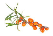 Sea Buckthorn Branch With Berr...