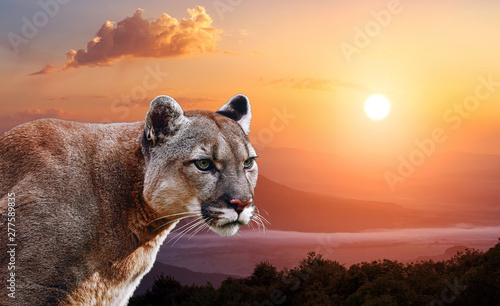 Valokuva  Portrait of a cougar, mountain lion, puma, panther, at sunset in the mountains