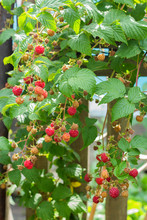 Ripe And Soon Ripe Raspberries On A Branch Of A Raspberry