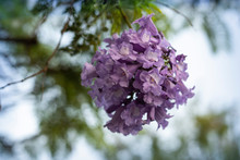 Lilac Flowers On Branch Of Jak...