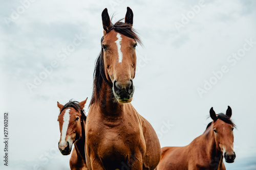Poster Chevaux Group of wild free running brown horses on a meadow