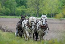 Team Of Amish Work Horses Plowing Field