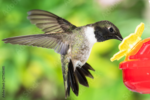 Black-Chinned Hummingbird Arriving at the Feeder for a Meal Wallpaper Mural