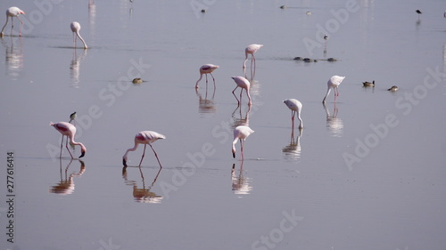 Garden Poster Flamingo A huge group of pink flamingos standing in a lake in Amboseli National Park in Kenya.