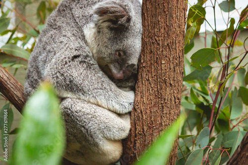 Printed kitchen splashbacks Australia cute fluffy koala bear sitting and sleeping on his branch