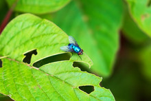 Blue Bottle Fly On Green Leave...