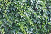 Wild Grapes Green Foliage Background.