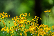 Closeup Of Many Golden Aster Wildflowers In Story Of The Forest Nature Trail In Shenandoah Blue Ridge Appalachian Mountains With Bokeh Background