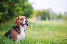 Portrait Of A Cute Beagle Dog Sitting On The Green Grass Outdoor In The Park On Sunny Day.