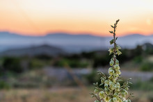 New Mexico Yucca Plant Flowers Closeup View In La Luz With Sunset And View Of Organ Mountains And White Sands Dunes National Monument