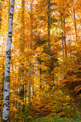 Fototapeta Brzoza Autumn Colors - Lush Foliage - Forest.