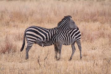 Fototapeta na wymiar Zebra trinkt bei Mutter