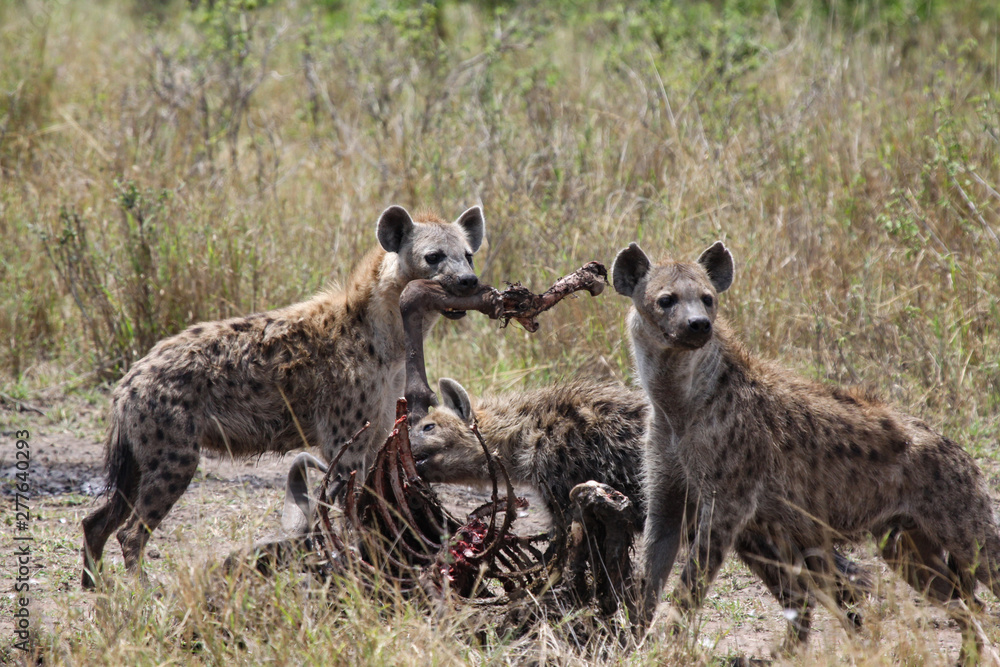 Fototapeta Hyäne fressen