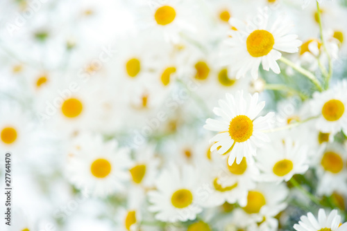 Fresh bouquet of camomiles, light background