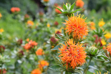 Orange Safflower Flowers In Th...