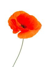 Red Poppy Flower On White Back...